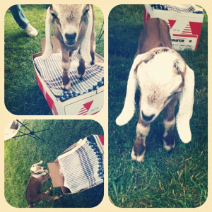 Chip! The new goat of Always Somethin' Farm. He just might be visiting this week, too!